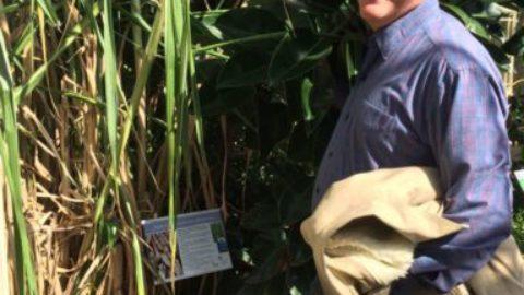 Cana-de-açúcar é destaque no Jardim Botânico em Dublin
